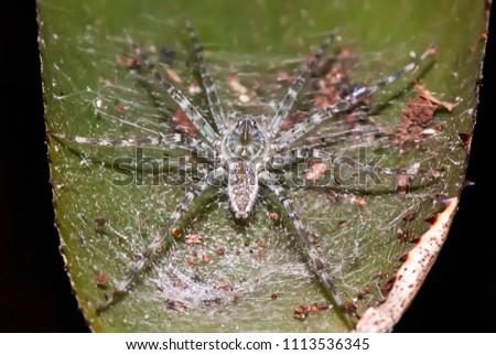 Spider photographed in Guarapari, Espírito Santo - Southeast of Brazil. Atlantic Forest Biome. Picture made in 2007.