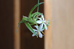 Spider plant baby (offset) start with view of the flowers on stamen.