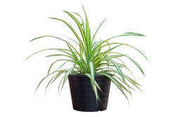 Spider Plant or Chlorophytum bichetii (Karrer) Backer in black plastic pot isolated on white background included clipping path.
