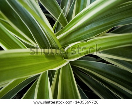 Spider plant or Cholorophytum comosum lraves for background. Zoom in. Top view.
