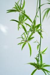 Spider plants babies, also known as Chlorophytum bichetii (Karrer) Backer, St. Bernard's lily