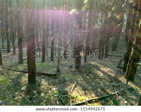 Spider sits on a cobweb. Pine forest covered with cobwebs in the sunlight