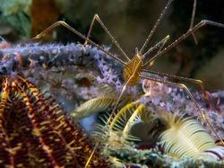 Spider Squat Lobster (Chirostylus dolichopus)