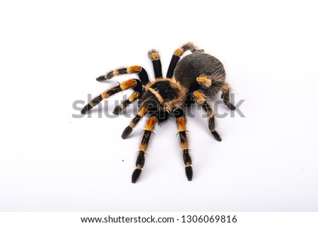 Spider Tarantula brachipelma smithi on white background