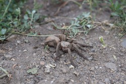 spider tarantula female spider tarantula in the nature  close up of tarantula  closeup tarantula insects, insect, bug, bugs, animal, animals, wildlife, wild nature, forest, woods, garden, park