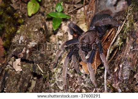 spider tarantula out from nest - stock photo