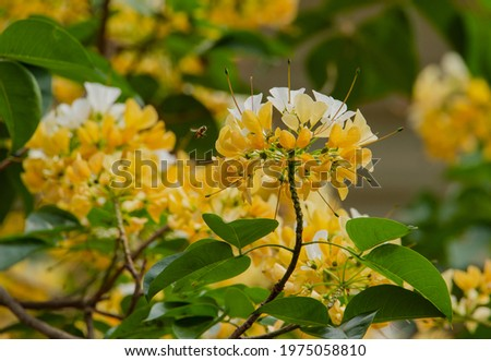 Spider tree flower. Inflorescence at the tip of the branch, bearing many large white or milky white flower, sometimes turning orange-yellow, each flower carrying from 13-18 stamens to tens of centimet Stock fotó ©