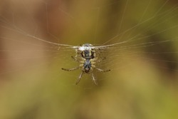 Spider underneath in a spider web
