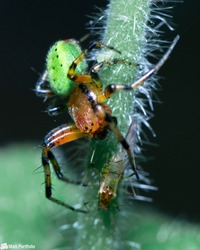 Spider vs Prey. A green orb weaver spider going in for the kill