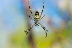 Spider wasp, Argiope bruennichi. spider on a web on a blurred natural background. large black and yellow cavity spider wasp Argiope bruennichi on the web, close-up