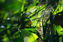 Spider web and Bamboo stalk, Bamboo background in dark tone, Bamboo forest