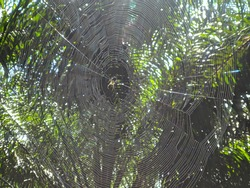 Spider web been build by spider in between palm tree leaf.