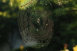 Spider web between the tree branches
