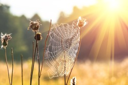 Spider web on a dry grass early in the morning sun