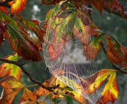 Spider web with dew drops on autumn chestnut tree.