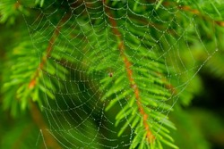 Spider web with drops on a fir branch
