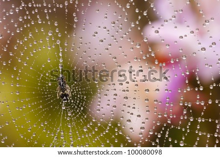 Spider web with water drops in rain forest, Thailand. #100080098