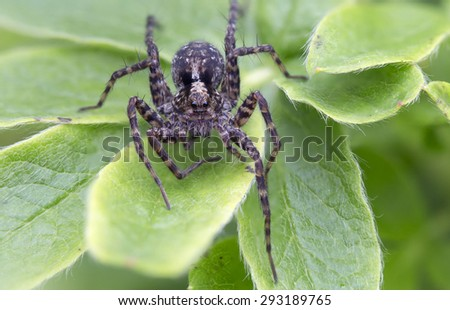 Spider-wolf Spiders of this family are medium or large size, usually dark-colored. Eyes arranged in three transverse rows.Lie in wait for prey from ambush, overtaking her a few jumps.