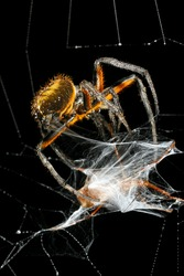 Spider wrapping its prey in silk. In the Ecuadorian Amazon