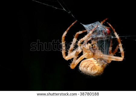 Spider wraps the prey caught in a cocoon.