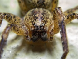 Spiders are air-breathing arthropods that have eight legs, chelicerae with fangs generally able to inject venom, and spinnerets that extrude silk. They are the largest order of arachnids.