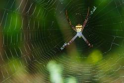 Spiders(Argiope versicolor)-Spiders on webs.