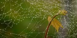 Spiderweb at a vine plant