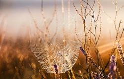 Spiderweb at morning. Dewdrops on spiderweb at morning. Spiderweb dewdrops