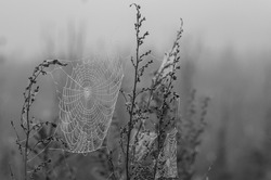Spiderweb between two plants early in the morning. Drops of dew on a web. Black and white nature background