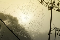 Spiderweb early in foggy morning with drops of dew on web. Cobweb in soft sunlight opposite the sun