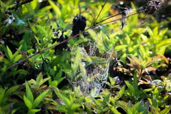 Spiderweb in the swamp with water droplets shines in the morning sun.