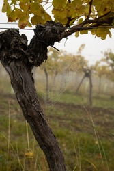 Spiderweb on a grape vine after a rainy night. Vineyard in the fog in the background.