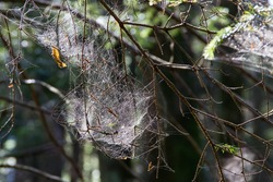 Spiderwebs in a forest on a cold morning in Austria