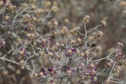Spike like inflorescences of purple bloom on Dyebush, Psorothamnus Emoryi, Fabaceae, native hermaphroditic perennial subshrub in the margins of Twentynine Palms, Southern Mojave Desert, Springtime.