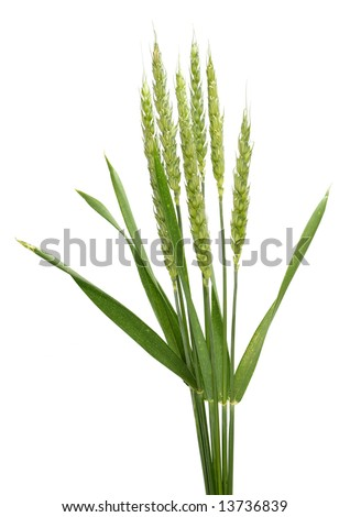 Spike of wheat- isolated