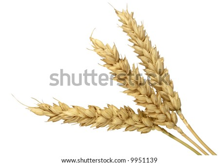 Spike of wheat isolated