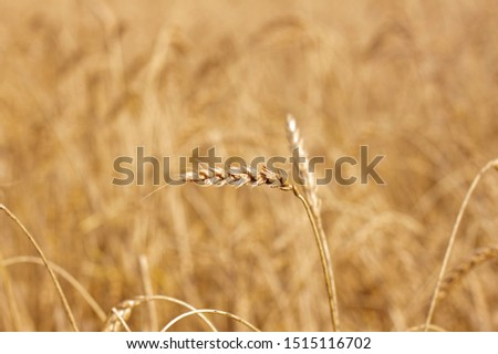 Spikelet of wheat against the background of a wheat field #1515116702