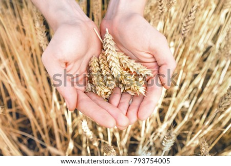 Spikelets and grain of ripe wheat in palms closeup #793754005