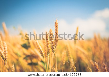 spikelets of wheat close-up. ripe wheat against the blue sky stock photo