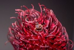 Spikes in super closeup showing exquisite texture and detail of fresh colourful red Rambutan fruit resembling a liquorish against a dark background. Studio low key food still life.