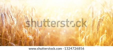 Spikes of ripe wheat in sun close-up with soft focus. Ears of golden wheat. Beautiful cereals field in nature on sunset, panoramic landscape, shining sunlight, copy space.