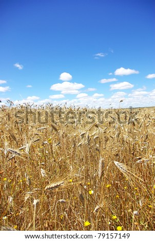 Spikes of wheat field against a clear blue sky.