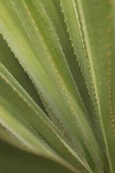 Spiky plant maguey green desert