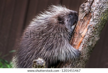 spiky porcupine climbing a tree in the back yard
