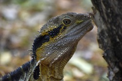 spiky spiny lizard reptile  outdoors