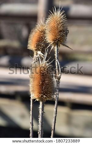 Spiky teasel head Dipsacus fullonum wildflower