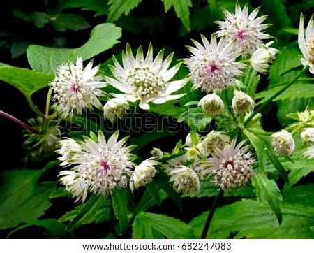 Free photos pink spiky flower avopix spiky white and pink flower 682247083 mightylinksfo