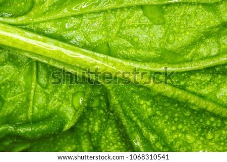 Stock Photo spinach macro photo / macro photo large sheet spinach natural texture