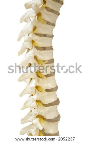 Spinal-column model isolated on white