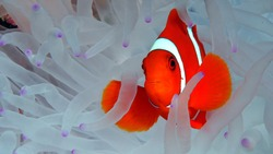 Spine Cheek clown fish in dying anemone Komodo Indonesia